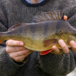 Perch Fishing In The Fall